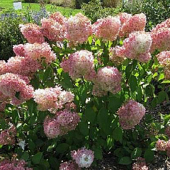 "Гортензия метельчатая ""Magical Sweet Summer"" (Мэджик Свит Саммер)"